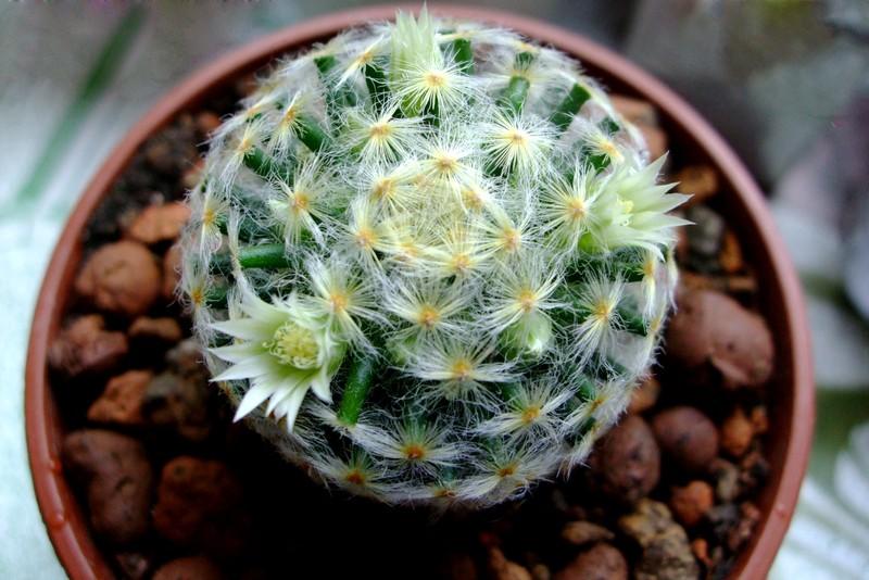 hogyan lehet kaktuszparazitát ültetni